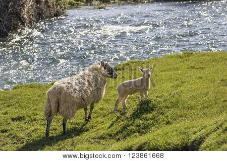 Ewe and lamb on the bank of a fast flowing river