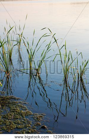Nature, reeds and near the duckweed on the pond