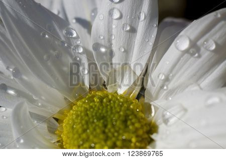 environment, detail of daisy with raindrops on the petals, flower field in spring with cloudy sky background