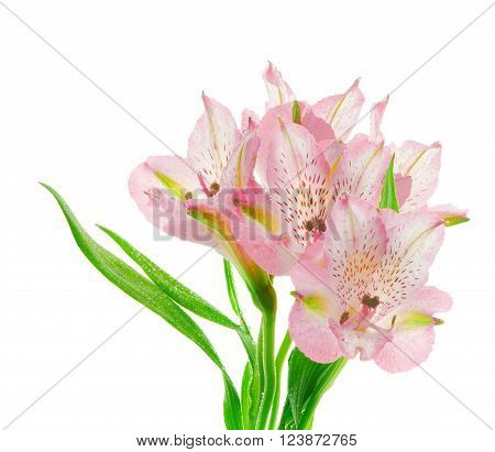 Inflorescence of Beautiful Pink Alstroemeria with Droplets in Shadow isolated on White background