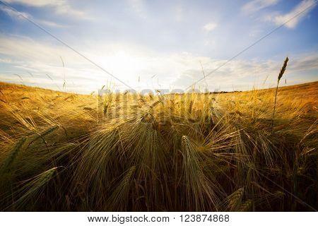 Wheat field. Yellow wheat field and sunset.