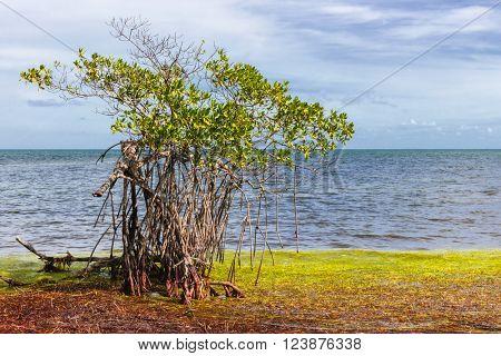 Single mangrove tree growing near ocean shore at Florida Keys