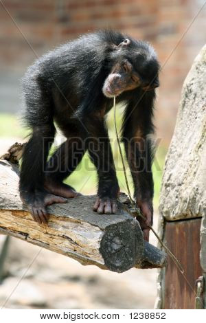 Young Chimpanzee On A Tree