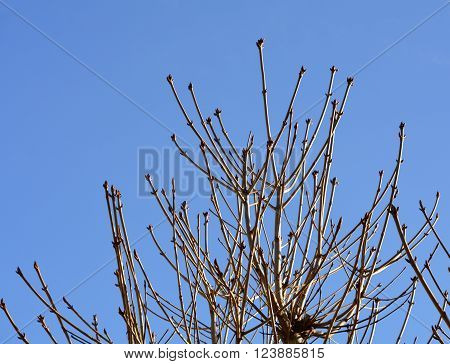 Leafless branches with buds of chestnut on blue sky background