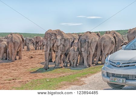 ADDO ELEPHANT NATIONAL PARK SOUTH AFRICA - FEBRUARY 23 2016: A large group of mud colored elephants waiting to cross the road blocked by tourist cars at Hapoor Dam.