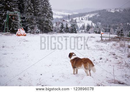 St. Bernard dog looks into the distance of the ski slopes.