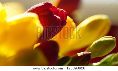 Variety of colorful freesias, floral background. Springtime.