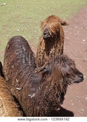 Two Peruvian llamas with long hair covering eyes
