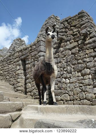 Single brown and white Llama standing among Incan Ruins