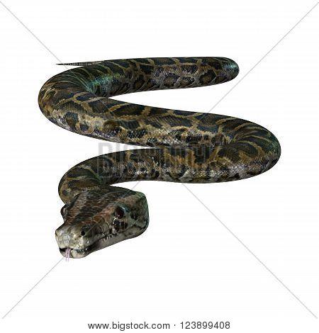 3D Illustration Burmese Python On White