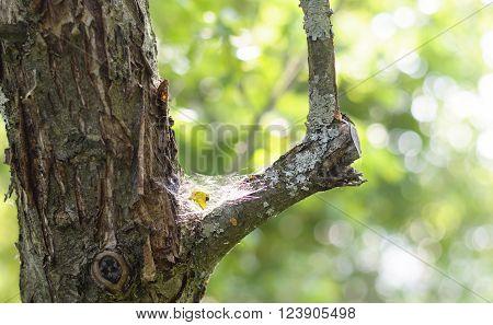 Cobweb On  Tree Trunk.
