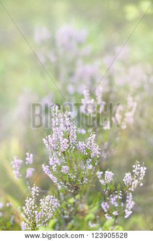 Pink Common Heather Blossoming Outdoors In Forest
