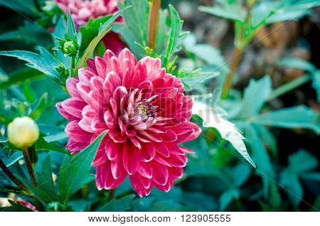 The dahlia is genus of flowering plants in the sunflower family. Closeup of dahlia flower in full bloom in the garden.