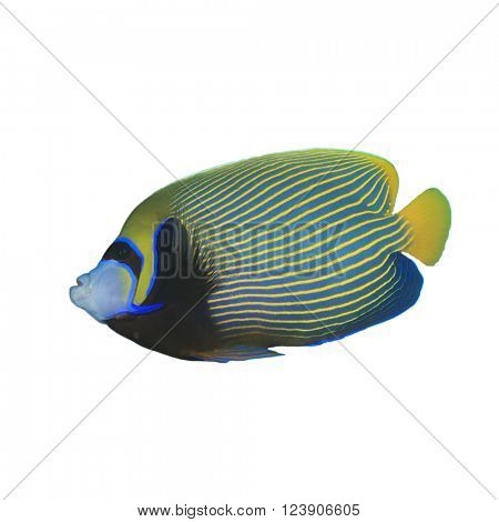 Emperor Angelfish fish isolated on white background