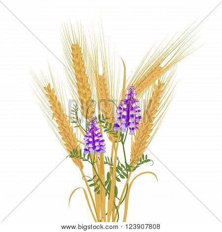 Ears of wheat tied with wildflower bindweed bird vetch canada pea. Vector illustration.