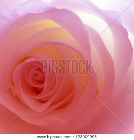 Flower rose close-up for picture and cards