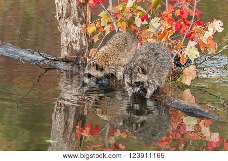 Two Raccoons (Procyon lotor) Dip into Water - captive animals