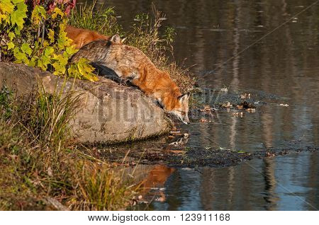 Red Fox (Vulpes vulpes) Bends Down to Water - captive animals