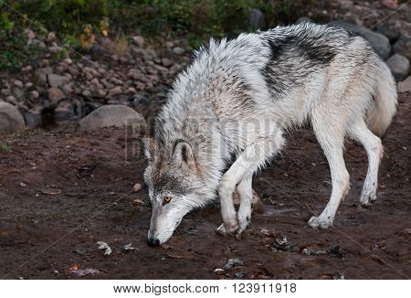 Grey Wolf (Canis lupus) Walks Left - captive animal
