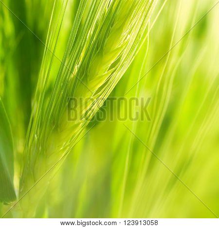 Green wheat ear.