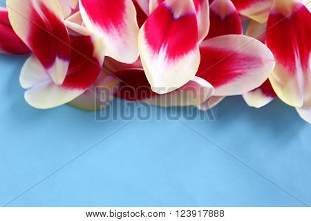 Petals of variegated tulip on blue background