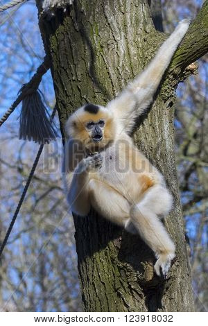 Female yellow-cheeked gibbon (Nomascus gabriellae) on a tree