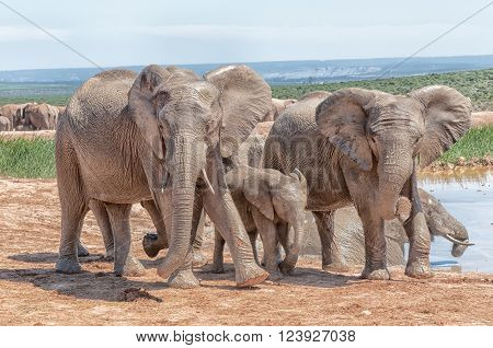Addo; Africa; Eastern Cape Province; Loxodonta africana; South Africa; Summer; african; animal; bull; calf; conservancy; cow; dam; elephant; fauna; female; herbivore; landscape; male; mammal; mate; mating; nature reserve; panorama; sunlight; sunny; waterh