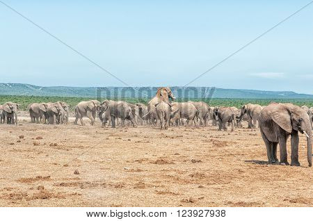 A large herd of elephants with two elephants mating