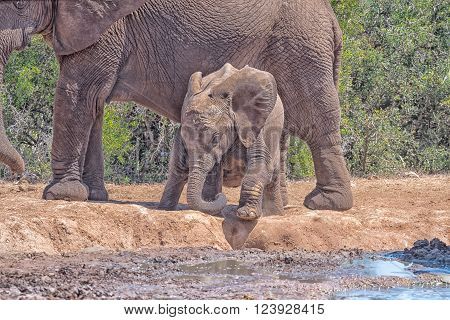 A young African Elephant calf, Loxodonta africana, trying to climb down to the water, using its trunk as extra leg