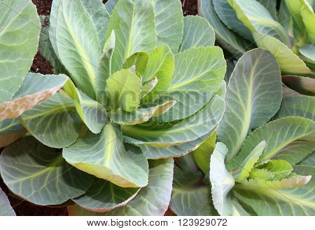 Cabbage Leaves In A Garden With Organic Farming Without Pesticides