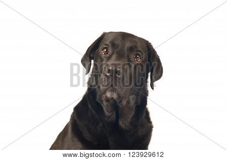 Black labrador retreiver portrait closeup isoleted on white
