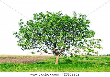 European walnut (Juglans regia) isolated on a white background