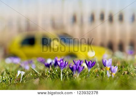 crocuses in grass in spring in city park with building and car in blurred background