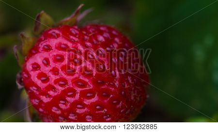 ripe beautiful red delicious bright juicy ripe strawberry in the summer garden on a dark green background