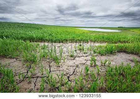 Green grass growing through dried land. End of drought landscape.