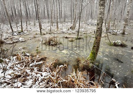 First snow in a forest swamp. Winter landscape in Latvia.