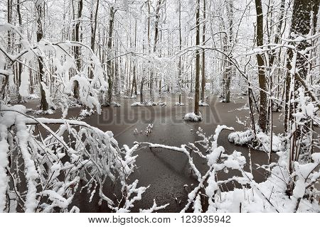 Winter landscape. Snow in a forest bog surrounded by beautiful trees.