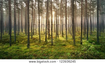 Beautiful pine forest panorama during strong fog. Nature landscape with stripes.