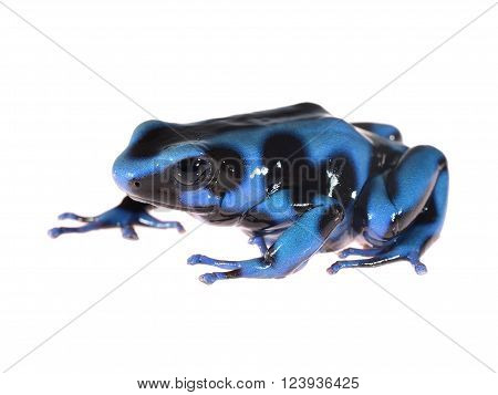Blue and black spotted poison dart frog Dendrobates auratus isolated