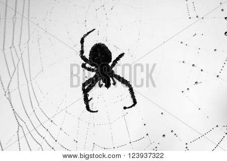 Common spider sitting in his web. Black and white image.