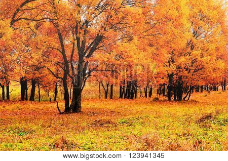 Autumn landscape in nebulous weather. Oak trees with bright yellowed leaves in the forest. Soft focus processing