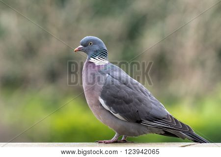 Common wood pigeon is a large species in the dove and pigeon family. It belongs to the Columba genus