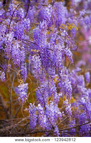 Wisteria flowers at full bloom in spring