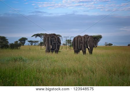Two Big elephant mate serengeti adventure safari