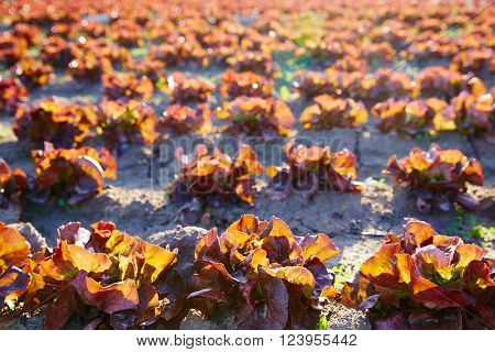 Red oak leaf letuce field in a row in Mediterranean area