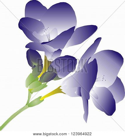 branch with purple flowers freesia floral illustration