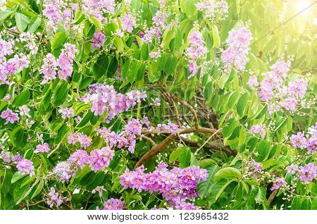 Beautiful flower soft focus of Cananga odorata flowers Thai Flower Tabak