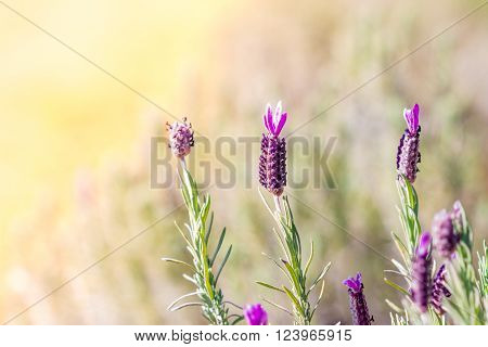 Field of Lavender flowers. lavender flowers background.