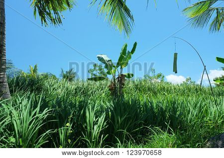 In an idyllic tropical sunny scene a young banana tree grows in the middle of a rice field under a coconut tree in Ubud Bali Indonesia.