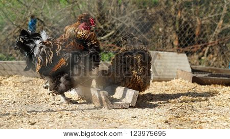 Chickens and cock on traditional free range poultry farm